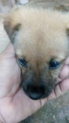 German Shepherd Golden boy 1 month 15 days sale pure original
