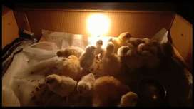 Silkie (White) Chicks Age (5 to 18 days old)