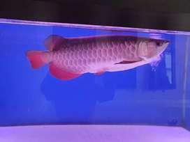 Arowana golen red tail,(rtg) blue base