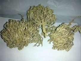 Rumput Fatimah-herbal kewanitaan asli Timur tengah