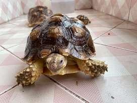 Sulcata Tortoise 21 CM Sangat Sehat Agresif dan makan rakus