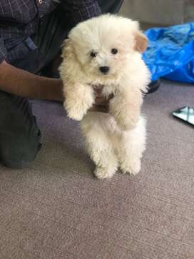4 month old pure poodle