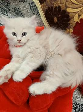 Pure Persian kittens available in all colours