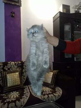 Pure percian cats available