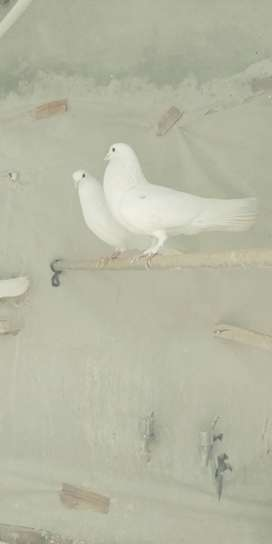 Pure white pigeions for sale