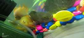 Sale oscer fish