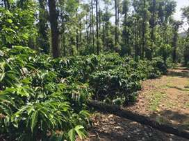 We'll maintained coffee estate for sale