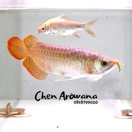 Arwana super red 25cm spesial