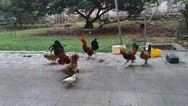 Jual Murah Ayam Kate