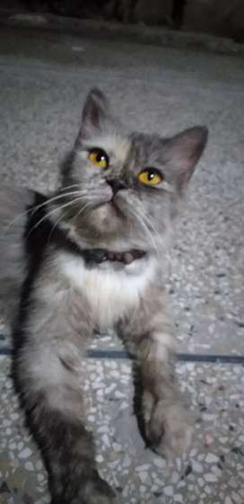 Persian Cat came from Uk