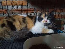 Lepas adopsi kucing persia betina indukan umur 1 tahun