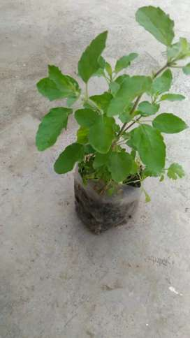 2 Healthy Tulsi Plant in 50rs only