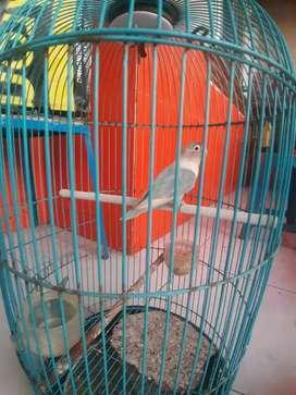 Jual burung love bird