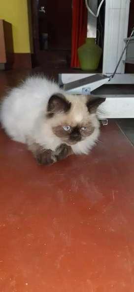 Persian female kitten for sale