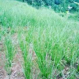 Tani Supplier Rumput Akar Wangi/ Vetiver Terbukti Menjaga Lereng Erosi