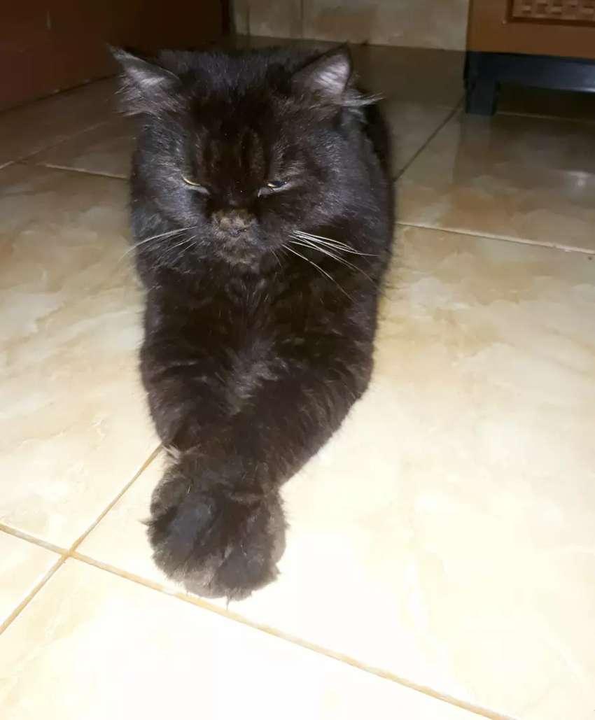 Jasa pacak kawin kucing persia 0