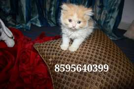 Friendly Cute Persian Kittens and Cats are available for Sale
