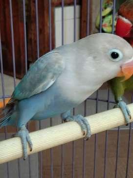 Lovebird Pasvio