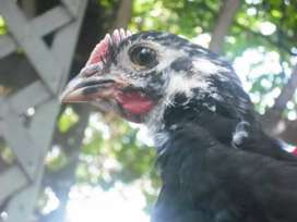 1 Month Old Australorp Chicks - Great for Beginners & Experts - alike