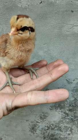 Anakan Ayam Pelung