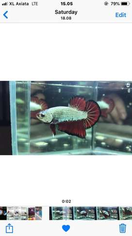 Red dragon pontianak