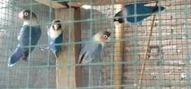 Burung Lovebird mangsi dijual borongan