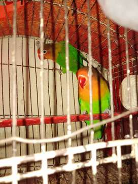 Fisher lovebird pair for sale
