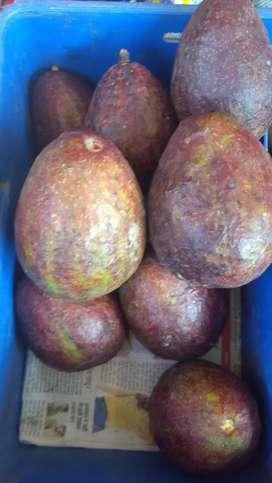 fruits Amerikaan avocado igirlo  in my garden India