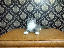 Kucing persia blue white