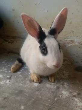 Rabit For sell