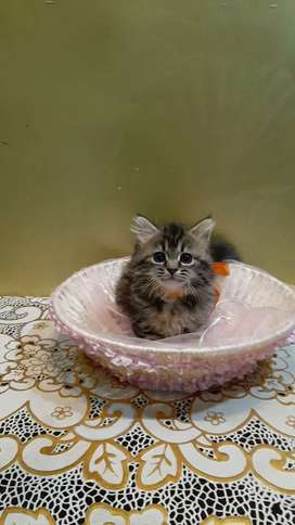 Tabby triple coat kitten