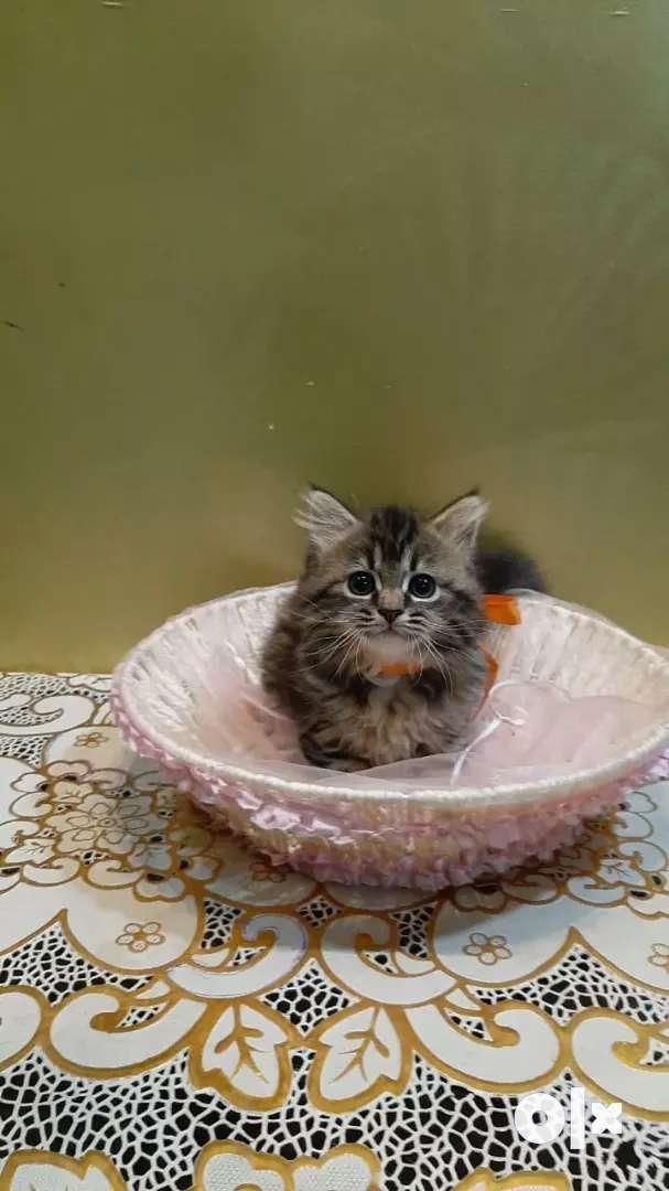 Tabby triple coat kitten 0