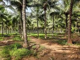 Coconut farm 5 acres for sale