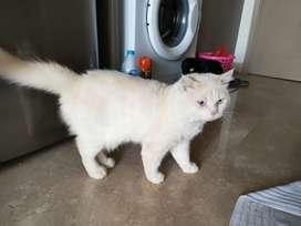 Kucing anggora x british