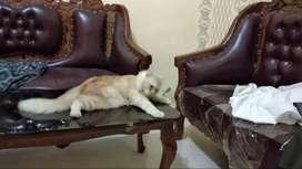 Dicari yg mau Adopsi kucing persia, bisa nego