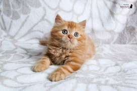 All colour Persian kittens for sale