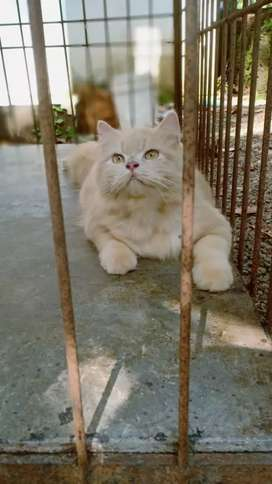 Persian semi doll male cat for crossing/not for sale