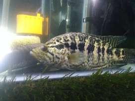 Cichlidae jaguar, ikan cantik Aquarium