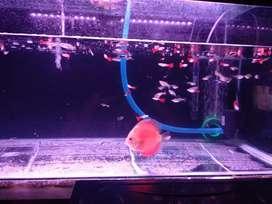 jual ikan guppy