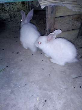 2 Rabbit Bunnies , red eyes , age 40 days
