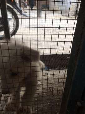 White Russian breed Quiet active and responsive