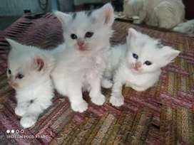 I'm selling my persian white blue eyes kittens, just 32 days old