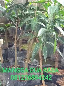 Bibit pohon MANGGA 2 VARIAN RASA