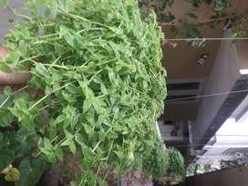 plant for sale turtle vine, turtlevine