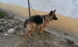 Gsd breeder female only for exchange with Gsd male