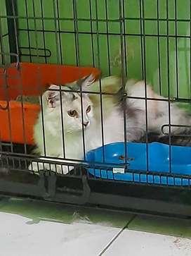 Kucing persia betina proven