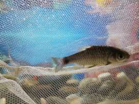 Fish for sale 200  8pes