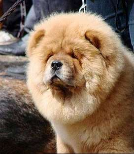 Chow chow imported pup
