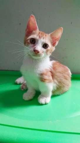kucing cebol/ munchkin