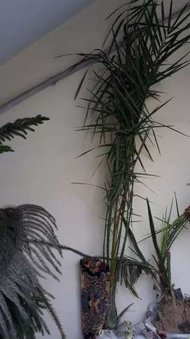Khajoor (date) plant, height 67 inches 3.5 year old